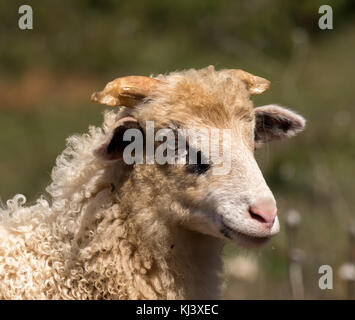 Portrait of a young sheep in Croatia at Easter - Stock Photo