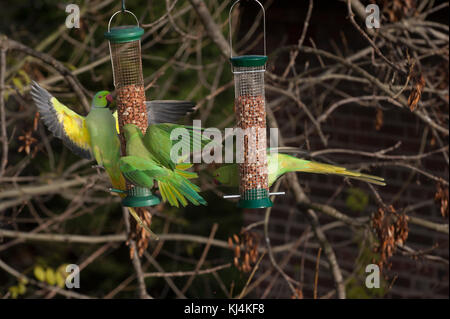 Ring-necked parakeets or Rose-ringed parakeets, (Psittacula krameri),  feeding from bird feeders, London, United - Stock Photo