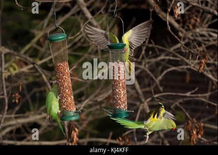 Ring-necked parakeets or Rose-ringed parakeets, (Psittacula krameri),  feeding from bird feeders, London, United - Stock Photo