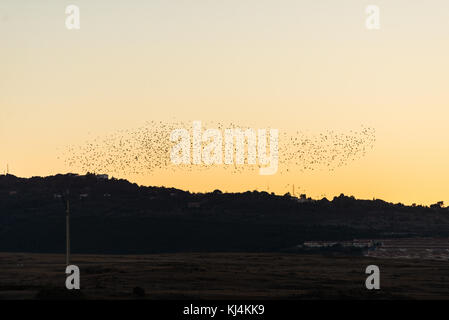 A huge group of black birds fly over the sky at dusk in Cáceres, Extremadura, Spain. - Stock Photo
