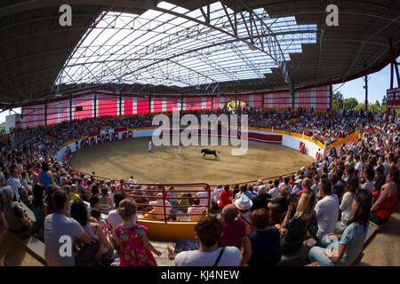 The Landes female cow race (Course Landaise) in the recently renovated Pomarez arena (Landes (40), Nouvelle-Aquitaine, - Stock Photo