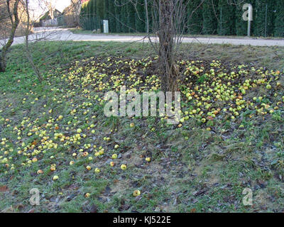 Lot of last apples fallen down from tree on ground in garden near road side. - Stock Photo