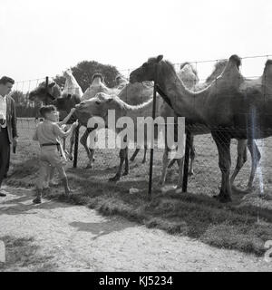 1950s, historical picture of two young children standing on a path by the enclosure feeding bactrian camels at a - Stock Photo