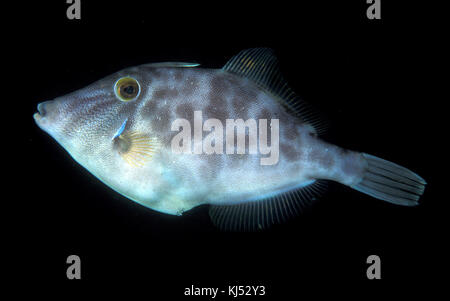 Parika scaber (Smooth leatherjacket) - Stock Photo