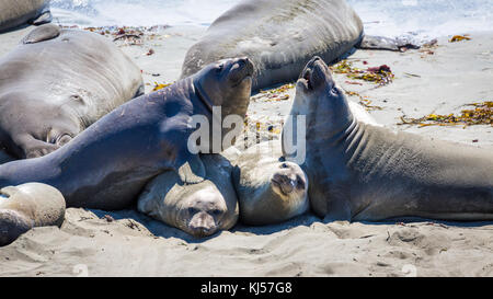 Two Northern Elephant Seals (Mirounga angustirostris) fight on the beach, near San Simeon, California, USA - Stock Photo