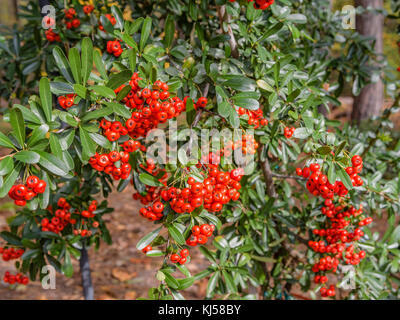 Pyracantha a genus of large, thorny evergreen shrubs in the family Rosaceae, with common names firethorn or pyracantha - Stock Photo