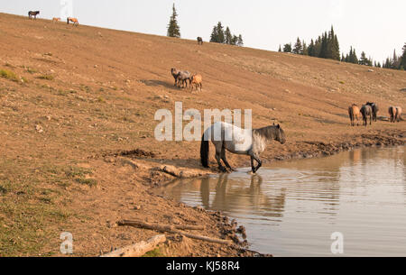Blue Roan Stallion with herd of wild horses at the water hole in the Pryor Mountains Wild Horse Range in Montana - Stock Photo