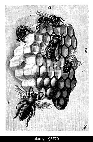 Honeybee: honeycomb, a drone, b workers, c Queen, right next to Weisel cradle (Honigbiene: Waben, a Drohnen, b Arbeiterinnen, - Stock Photo