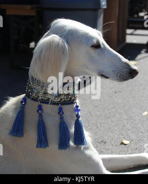 SAluki (PErsian Greyhound) portrait - dog show - Stock Photo