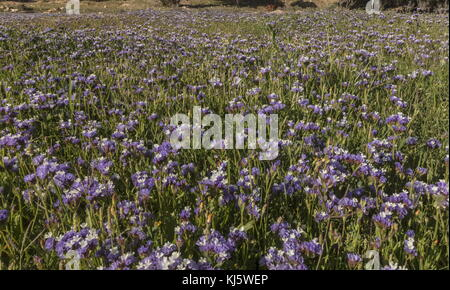 Wavyleaf sea lavender, Limonium sinuatum, in flower on the south-west coast of Morocco. - Stock Photo