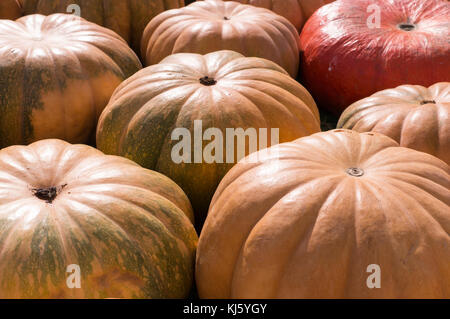 pile of various pumpkins at autumn harvest festival. background, vegetables. - Stock Photo