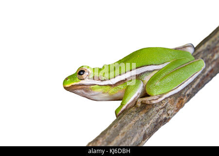 American green tree frog (Hyla cinerea), isolated on white background. - Stock Photo