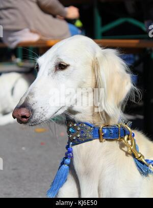Persian Greyhound (Saluki) male portrait at a dog show - Stock Photo
