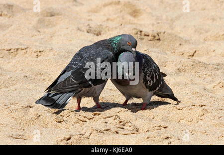 Two Common pigeons courting on the beach, Umhlanga Rocks, KwaZulu Natal, South Africa - Stock Photo