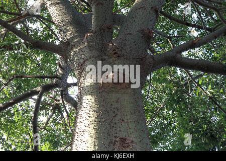 Silk Floss tree or Kapok tree, Pretoria, Gauteng, South Africa. - Stock Photo