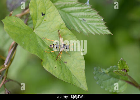 Figwort Sawfly; Tenthredo scrophulariae Single on Leaf Cornwall; UK - Stock Photo