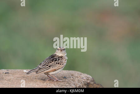 Rufius-naped Lark (Mirafra africana) perched on a wall - Stock Photo