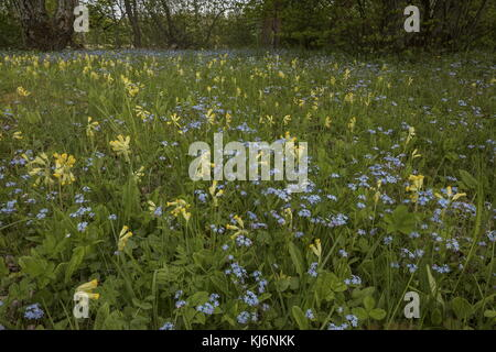 Wood Forget-me-not, Myosotis sylvatica  and Cowslips, Primula veris, in flowery meadow; Estonia. - Stock Photo