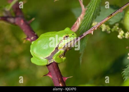 Europäischer Laubfrosch sonnt sich auf einer Brombeerranke, Laub-Frosch, Frosch, Hyla arborea, European treefrog, - Stock Photo