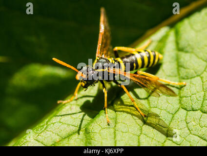 A macro shot of a figwort sawfly. - Stock Photo