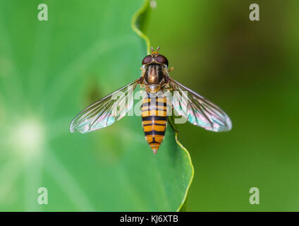 A macro shot of a hoverfly sitting on the edge of a nasturtium leaf. - Stock Photo