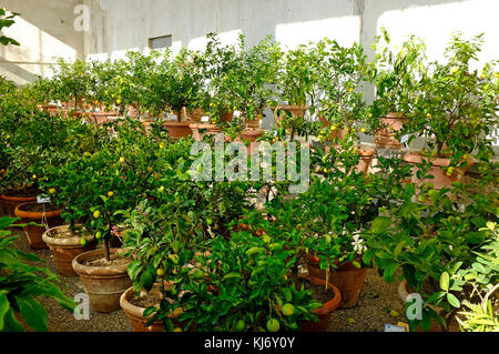 lemon trees in pots taken in for the winter, florence, italy - Stock Photo