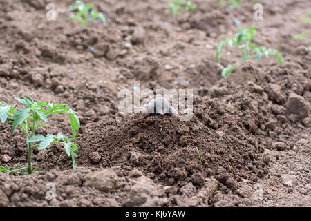Mole in a vegetable garden among tomato plants - Stock Photo