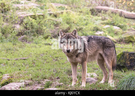 Portrait of a gray wolf of Europe (canis lupus lupus) in the woods looking straight ahead, Rhodes, France. - Stock Photo