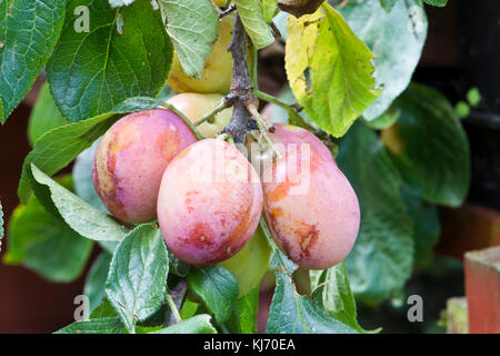 The branch of a Victoria Plum tree laden with fruit - Stock Photo
