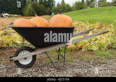 Three pukmpkins in a wheelbarrow on a pumpkin farm. - Stock Photo