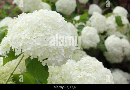 Hydrangea arborescens 'Annabelle' displaying large showy blooms on a bright summer day (August), UK - Stock Photo