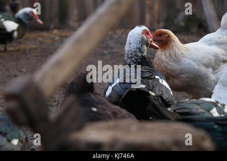 A duck running from the axe scene - Stock Photo