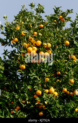 orange tree trees growing grow citrus fruit fruits in street in tenerife spain spanish oranges - Stock Photo