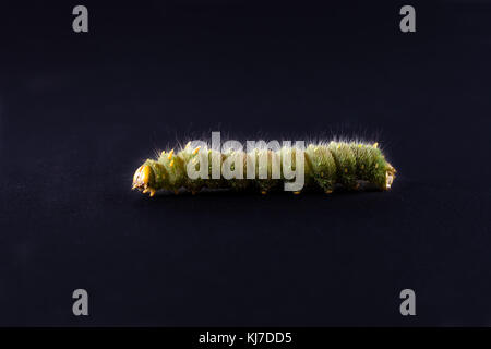 Imperial moth caterpillar with shallow depth of field/ Isolated Green Caterpillar on black background - Stock Photo