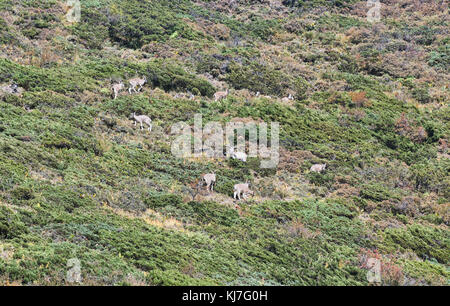 Bharal blue sheep in the Tsum Valley near Tibet, Gorkha District, Nepal - Stock Photo