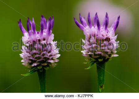 Wild flower of Korea Maiden sawwort - Stock Photo