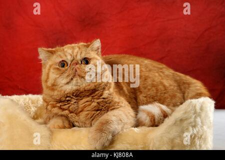 Exotic Shorthair, red tabby, lying Stock Photo