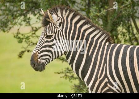 Chapmans zebra at Port Lympne wildlife park in Kent - Stock Photo