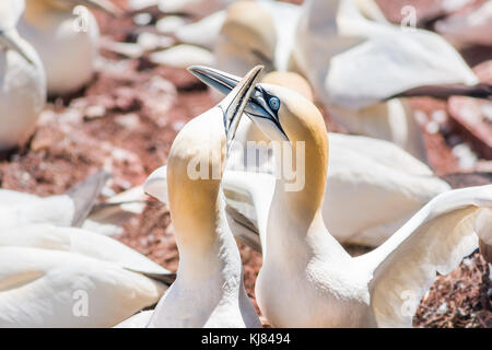 Couple pair of white Gannet bird sitting on whole egg with shell on Bonaventure Island cliff in Perce, Quebec, Canada - Stock Photo