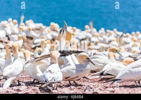 Couple pair of white Gannet bird sitting on whole red egg with shell on Bonaventure Island cliff in Perce, Quebec, - Stock Photo
