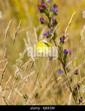 Brimstone butterfly Gonepteryx rhamni basking in the sun with its wings open showing the yellow colour of its upper - Stock Photo