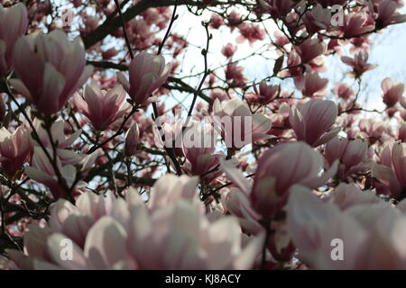 Pink and white flowers growing on a Magnolia tree in the spring. - Stock Photo