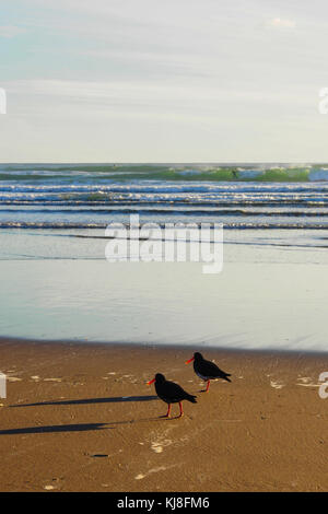 A pair of oystercatcher searching for food on the beach - Stock Photo