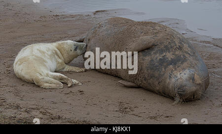 A young grey gray seal pup suckling and feeding off its mother lying on the sand - Stock Photo