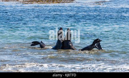 Two Northern Elephant Seals (Mirounga angustirostris) fight in the water, near San Simeon, California, USA - Stock Photo
