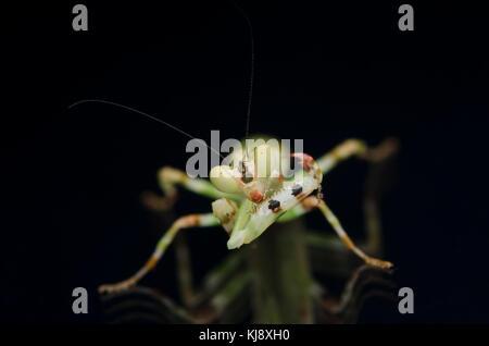 male banded flower mantis. Theopropus elegans, praying mantis malaysia. isolated on black background. - Stock Photo