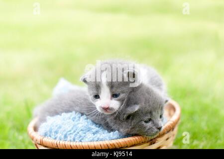 Two grey kittens in a wooden basket