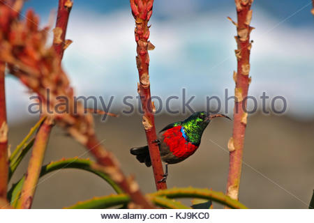 Greater Double-collared Sunbird (Cinnyris afer) sitting on a Aloe arborescens at Storm River Mouth, Tsitsikamma - Stock Photo