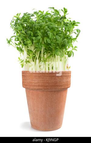 Watercress (Lepidium sativum) in vase  isolated on white - Stock Photo