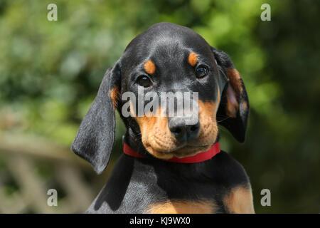 Doberman Pinscher Puppy - Stock Photo